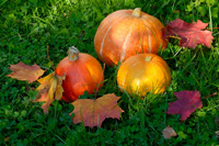 pick your own pumpkins in October