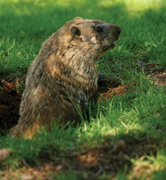 Groundhog's Day, groundhog