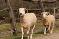sheep; sheep running; Philipsburg Manor; kids activities; children's events