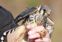 bird banding; birding; wild birds; falcon