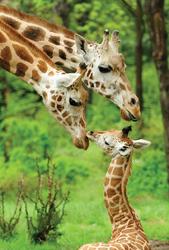 Bronx Zoo; giraffes; Animal Tales Extravaganza