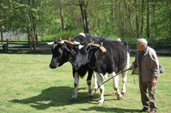 oxen plowing a field; cows herded in field; stamford museum and nature center