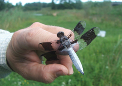 dragonfly on a finger; hand holding a dragonfly, white and black