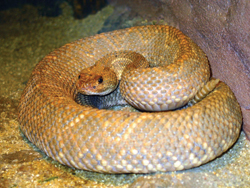 snake; rattlesnake; rattle snake; snake in a zoo; serpent