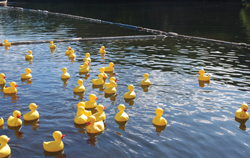 rubber ducks floating in a pond; Camp Pa-Qua-Tuck's Annual Family Style BBQ and Duck Race