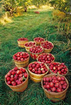 apple orchard; bushels of red apples; pick your own apple farms