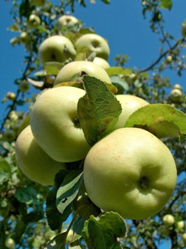 green apples on the vine; apple orchard; pick your own apple farms in new jersey