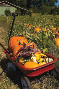pumpkins and other fall gourds in a wagon; pumpkin picking; pumpkin patch; fall harvest