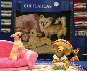 Meet the Breeds; Chihuahua