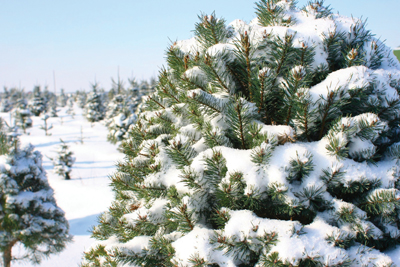 evergreen covered in snow
