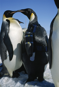 penguins kissing