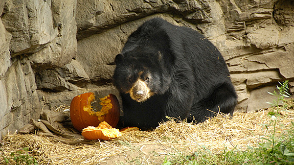 bear with pumpkin at the Queens Zoo Halloween event