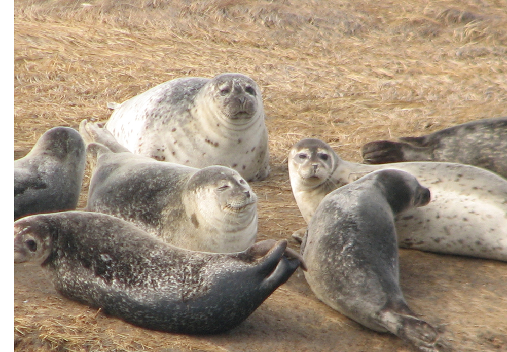 gray seals on Long Island