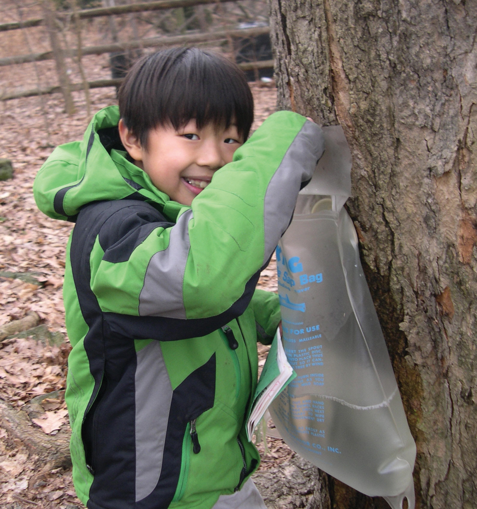 maple sugar tapping