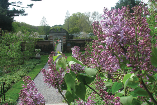 Lilacs at Old Westbury Gardens