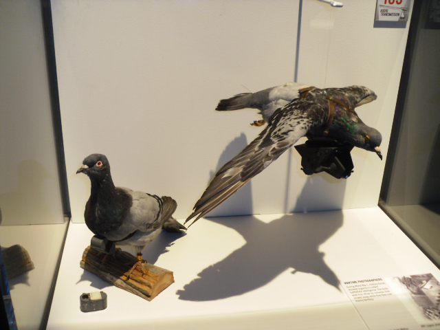 spy pigeons from WWII