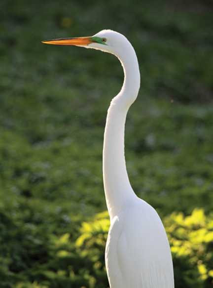 white egret summer bird