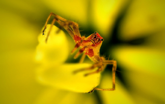 magnolia jumping spider