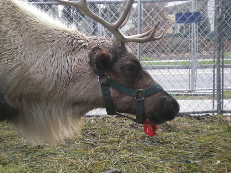 greenwich reindeer festival