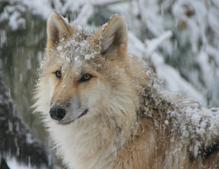 wolf conservation center south salem ny; wolf in winter