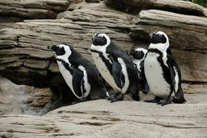 Black Footed Penguins at New York Aquarium