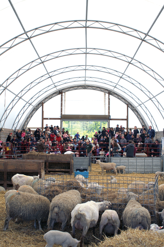 sheep shearing day at stone barns center