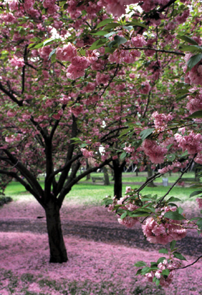 cherry blossoms at brooklyn botanic garden