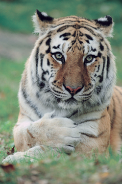 siberian tiger at bronx zoo