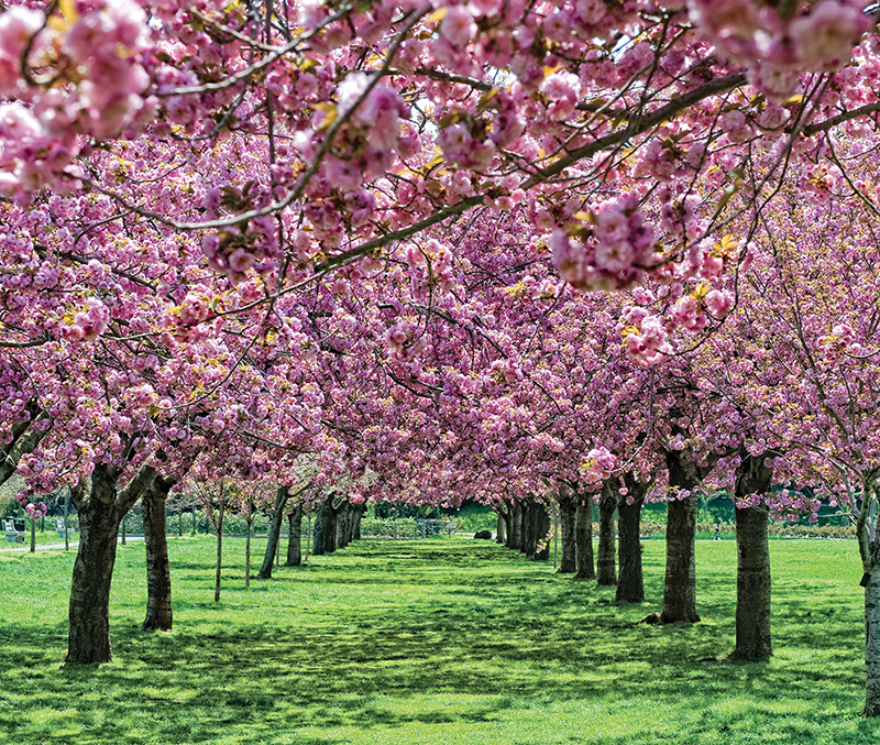 cherry blossom esplanade at brooklyn botanic garden