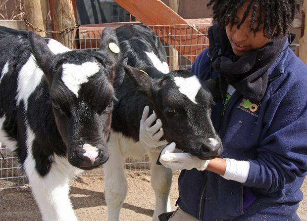 calves at staten island zoo