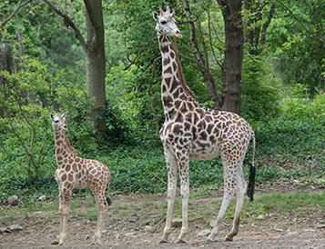 giraffe calf at bronx zoo