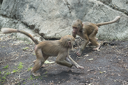 baby baboons