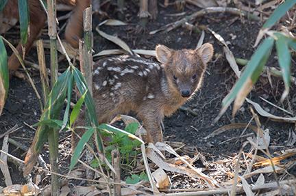 pudu fawn