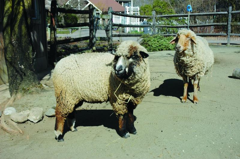 sheap shearing